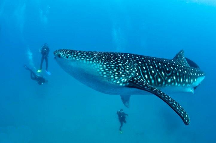 Китовые акулы на острове Себу, Ослоб