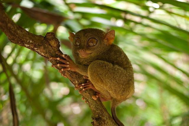 Тарсиеры - маленькие долгопяты на острове Бохоль