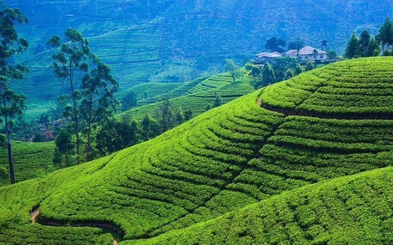 Чайные плантации Нувара Элия на Шри-Ланке